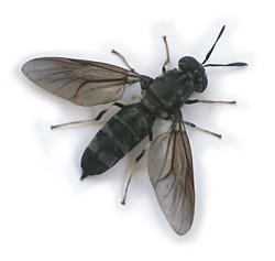 Larvas de Mosca BLACK SOLDIER